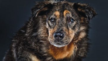 beautiful-old-dogs-boris_600x394